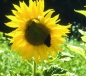 Preview: Sonnenblume Peredovick (Helianthus annuus) - 1 kg