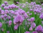 Preview: Schnittlauch (Allium schoenoprasum) - 500 g