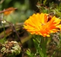 Preview: Ringelblume (Calendula officinalis) - 100 g