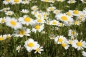 Preview: Margerite (Chrysanthemum leucanthemum) - 1 kg
