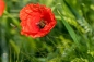 Preview: Klatschmohn (Papaver rhoeas) - 1 kg