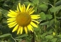 "Mobile Preview: Sonnenblume ""Iregi"" (Helianthus annuus) - 1 kg"