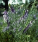 Preview: Wicke - Winterwicke (Vicia villosa)  - 1 kg
